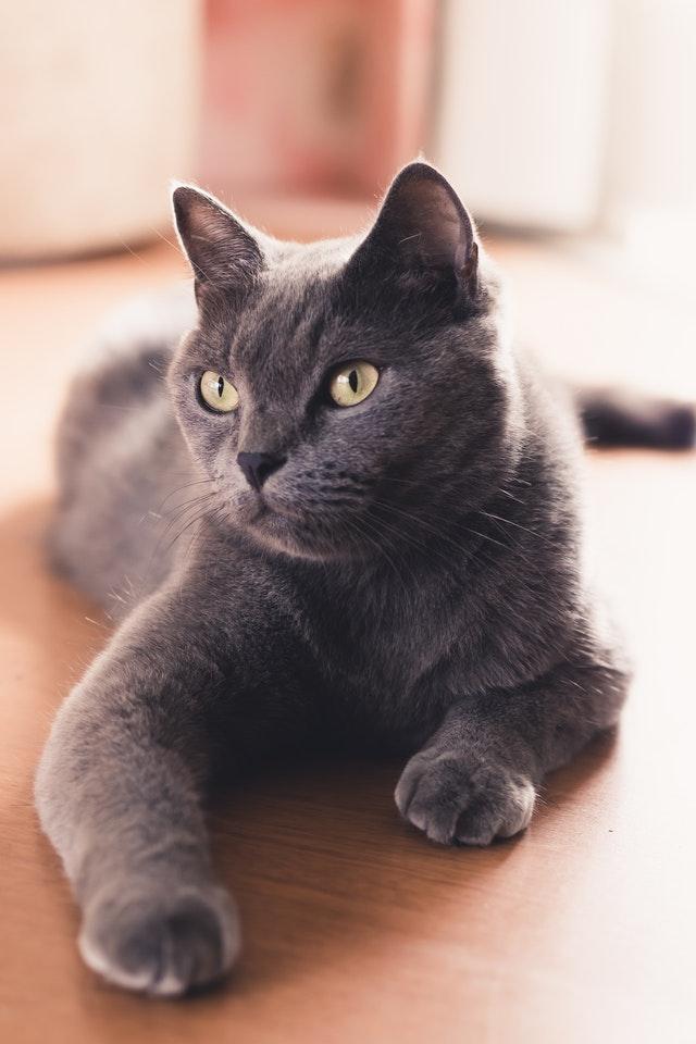 adopter un chat pour lutter contre l'invasion des rats