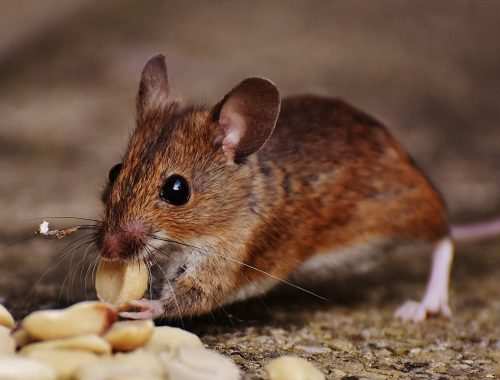 lutter contre invasion des rats